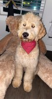 Golden Doodle Puppies for sale in Dallas, TX, USA. price: NA