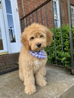 Golden Doodle Puppies for sale in Marietta, GA 30064, USA. price: NA