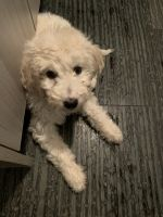 Golden Doodle Puppies for sale in Chicago, IL 60657, USA. price: NA