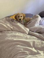 Golden Doodle Puppies Photos