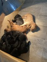 Golden Doodle Puppies for sale in Farmville, VA 23901, USA. price: NA