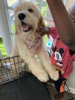 Golden Doodle Puppies for sale in Orlando, FL, USA. price: NA
