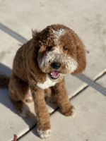 Golden Doodle Puppies for sale in Roseville, CA, USA. price: NA