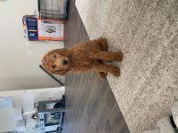 Golden Doodle Puppies for sale in Fredericksburg, VA 22401, USA. price: NA