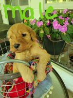 Golden Doodle Puppies for sale in Daingerfield, TX 75638, USA. price: NA
