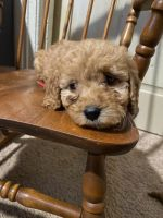 Golden Doodle Puppies for sale in Winston-Salem, NC, USA. price: NA