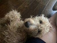 Golden Doodle Puppies for sale in Highland Village, TX, USA. price: NA
