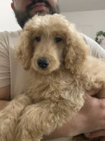Golden Doodle Puppies for sale in New Rochelle, NY, USA. price: NA