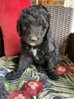 Golden Doodle Puppies for sale in Barboursville, WV, USA. price: NA