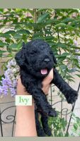 Golden Doodle Puppies for sale in Covina, CA 91722, USA. price: NA