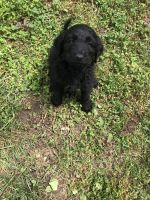Golden Doodle Puppies for sale in Caseyville, IL, USA. price: NA