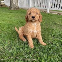 Golden Doodle Puppies for sale in Oklahoma City, OK, USA. price: NA
