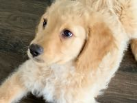 Golden Doodle Puppies for sale in Raleigh, NC, USA. price: NA
