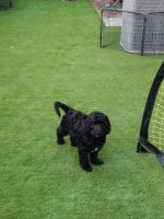 Golden Doodle Puppies for sale in San Diego, CA 92123, USA. price: NA