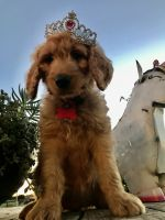 Golden Doodle Puppies for sale in Florence, TX 76527, USA. price: NA