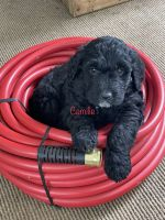 Golden Doodle Puppies for sale in Timpson, TX 75975, USA. price: NA