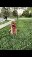 Golden Doodle Puppies for sale in Bristow, VA, USA. price: NA