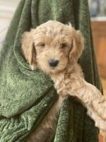 Golden Doodle Puppies for sale in Hillsborough, NC 27278, USA. price: NA