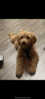 Golden Doodle Puppies for sale in Corona, CA, USA. price: NA