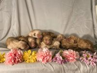 Golden Doodle Puppies for sale in Greenville, NC, USA. price: NA