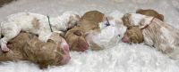 Golden Doodle Puppies for sale in Hammond, LA, USA. price: NA