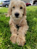 Golden Doodle Puppies for sale in Lewis Center, OH, USA. price: NA