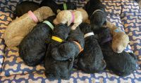 Golden Doodle Puppies for sale in Cowpens, SC 29330, USA. price: NA