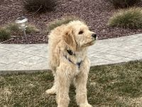 Golden Doodle Puppies for sale in Nazareth, PA 18064, USA. price: NA