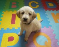 Golden Doodle Puppies for sale in Warrensburg, MO 64093, USA. price: NA