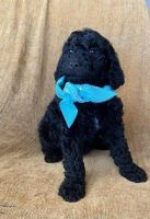 Golden Doodle Puppies for sale in Holland, MI 49423, USA. price: NA
