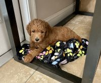 Golden Doodle Puppies for sale in Lake City, FL, USA. price: NA