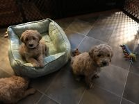 Golden Doodle Puppies for sale in Andover, MN 55304, USA. price: NA