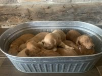 Golden Doodle Puppies for sale in Grand Blanc, MI 48439, USA. price: NA