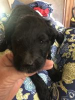 Golden Doodle Puppies for sale in FL-71, Florida, USA. price: NA