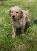 Golden Doodle Puppies for sale in Flint Twp, MI, USA. price: NA