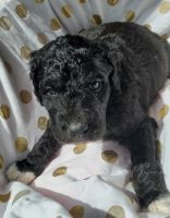 Golden Doodle Puppies for sale in Calhan, CO 80808, USA. price: NA
