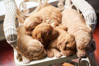 Golden Doodle Puppies for sale in York, SC 29745, USA. price: NA