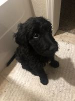 Golden Doodle Puppies for sale in Kansas City, MO, USA. price: NA