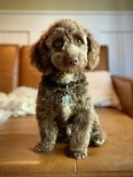 Golden Doodle Puppies for sale in Macomb, MI 48042, USA. price: NA
