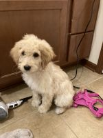Golden Doodle Puppies for sale in Ankeny, IA 50021, USA. price: NA