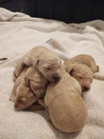 Golden Doodle Puppies for sale in Salt Lake City, UT 84107, USA. price: NA