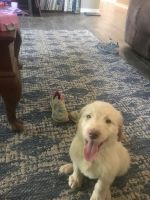 Golden Doodle Puppies for sale in De Kalb, TX 75559, USA. price: NA