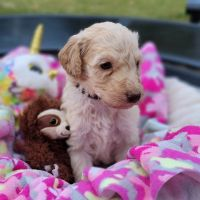 Golden Doodle Puppies for sale in Charlotte, NC, USA. price: NA