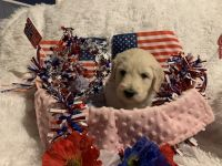 Golden Doodle Puppies for sale in Warwick, RI, USA. price: NA