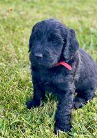 Golden Doodle Puppies for sale in Elk Creek, VA 24326, USA. price: NA