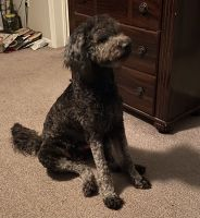Golden Doodle Puppies for sale in SOUTH PRINCE GEORGE, VA 23805, USA. price: NA