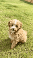 Golden Doodle Puppies for sale in Anna, TX 75409, USA. price: NA