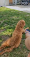 Golden Doodle Puppies for sale in 65 Hoy Ave, Fords, NJ 08863, USA. price: NA