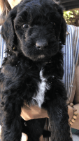 Golden Doodle Puppies for sale in Modesto, CA, USA. price: NA