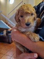 Golden Doodle Puppies for sale in Ontario, CA 91761, USA. price: NA